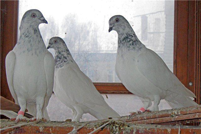 Содержать венгров нужно отдельно от других пород голубей