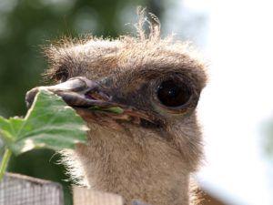 Обычной пищей страусов являются растения