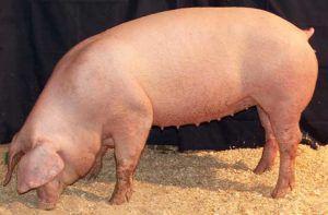 Длинноухая свинья