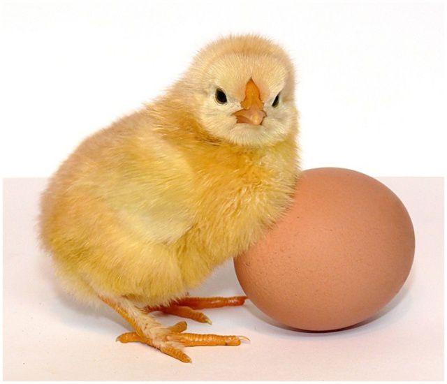 Вирус может сохраняться на скорлупе яиц и заражать птенцов