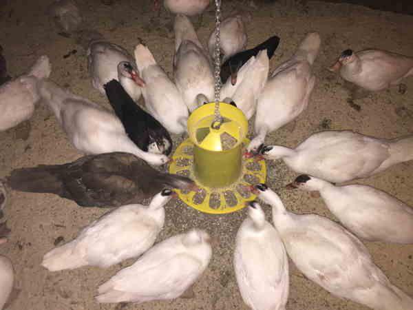Кормить индоуток нужно отдельно от других птиц