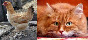 Селекционерам, понравился окрас рыжего кота, и они решили запечатлеть его на оперении курицы