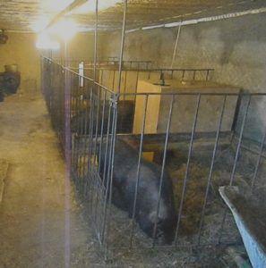 Клетки в свинарнике должны быть площадью не менее 4,5 м²