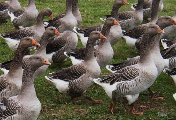 """Для получения полноценного потомства необходимо регулярно вливать """"свежую кровь"""" выбирая для этого птиц из другой местности"""