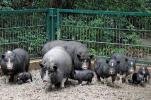 Вьетнамских вислобрюхих свиней необходимо ежедневно выгуливать в теплое время года