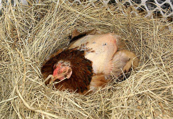 В запущенном состоянии птица полностью теряет оперение