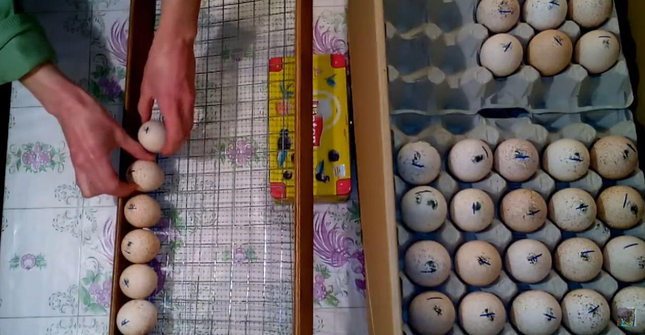 Далее яйца закладываются в инкубатор (в данном случае вначале на специальную сетку)