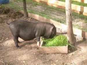 Основу рациона вьетнамских вислобрюхих свиней должны составлять зелень и зерновые культуры