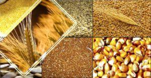 Зерновая смесь для свиней должна подаваться в молотом виде и содержать различные виды зерновых культур