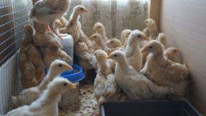 Цыплят кормят пищей с большим содержанием белка