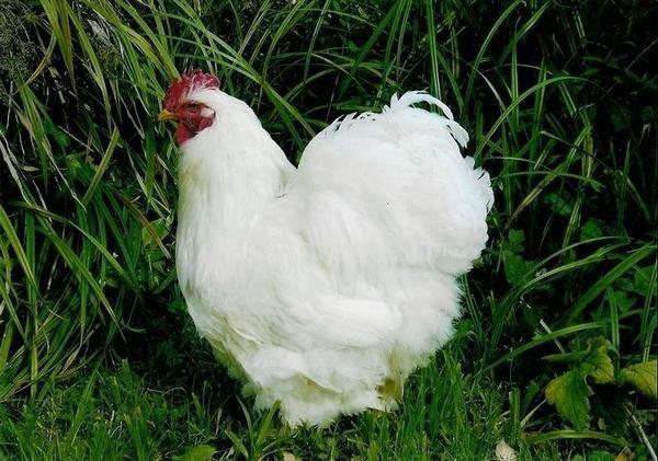 Кохинхин - один из предков гамбургских кур