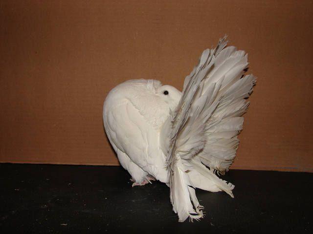 Голубь павлин с запрокинутой головой