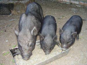 Как минимум трех свиней можно накормить половиной 1 ведра, наполненного кормом