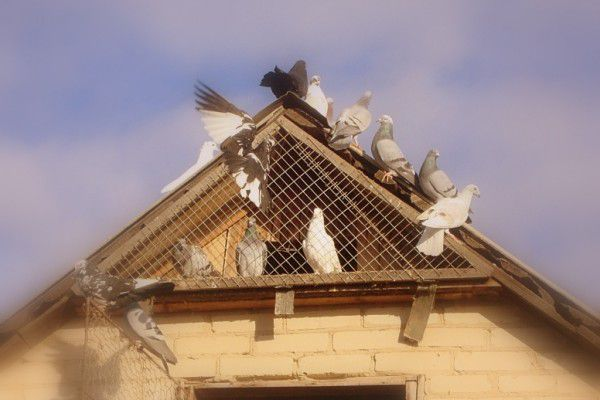Самым подходящим местом для содержания венгерских голубей является чердак