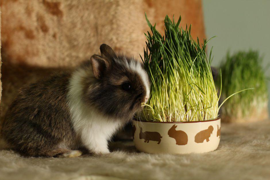 Кролики не всегда имеют доступ к пище, богатой витаминами