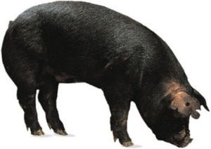 Крупные черные свиньи обладают хорошей комплекцией