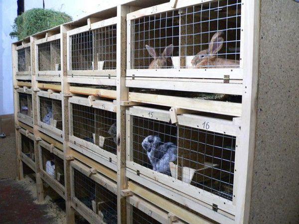 Уметь определять пол кролик необходимо для своевременного рассаживания по клеткам