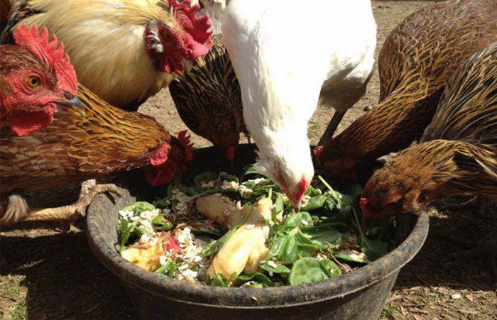 Кормление кур разнообразной пищей