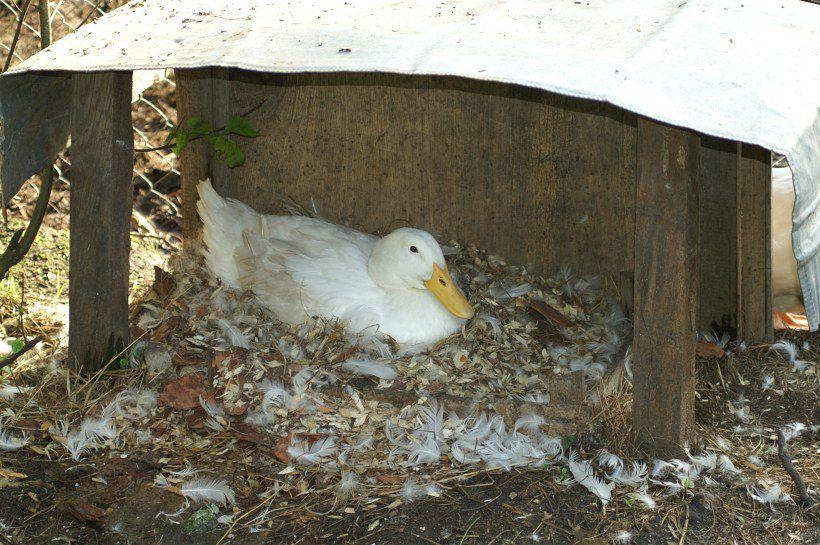 Важно оставить гусыню там где она села на яйца, обеспечив ей покой