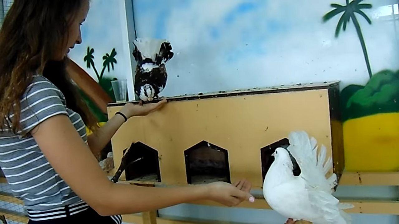 Кормить голубей павлинов необходимо небольшими порциями, 3 раза в день летом, и 2 раза в день зимой