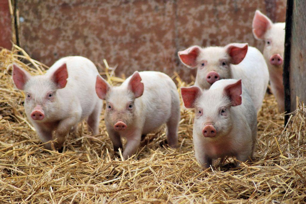 Содержать поросят на экоподстилке можно отдельно от основного стада