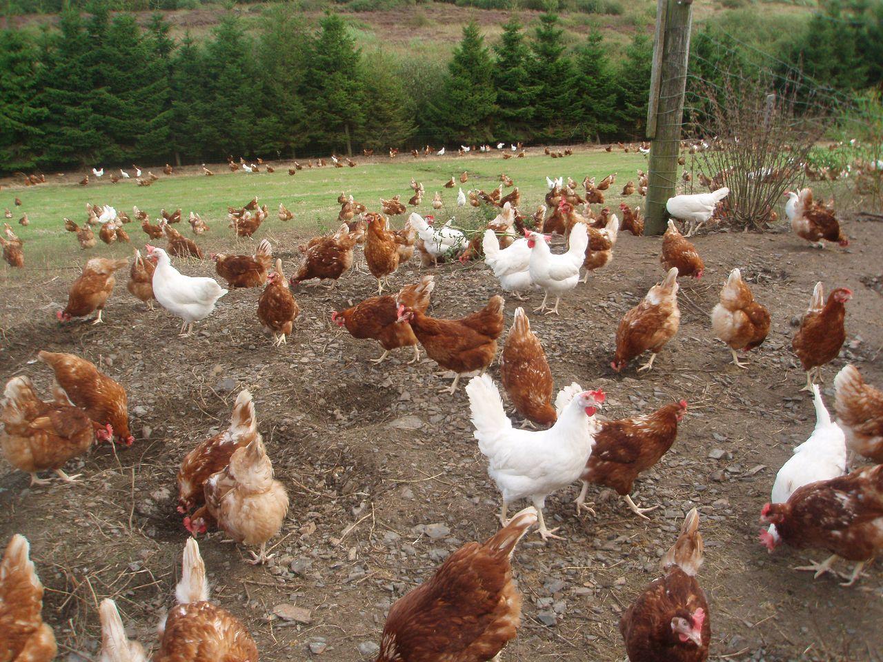 Куры породы Хай-Лайн неконфликтные, их можно содержать вместе с другими породами кур