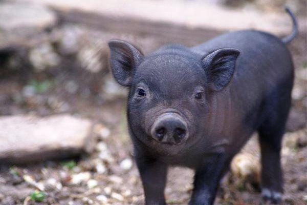 В детстве, корейская и вьетнамская свиньи похожи