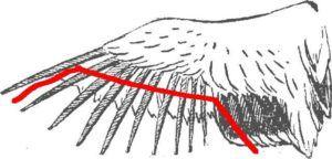 Схема обрезки крыла индюка