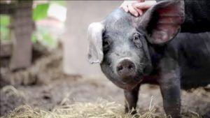 Крупная черная свинья обладает длинными ушами, которые свисают на глаза
