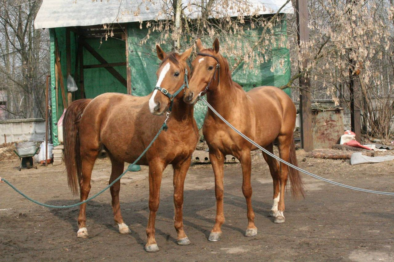 Буденновская лошадь на привязи