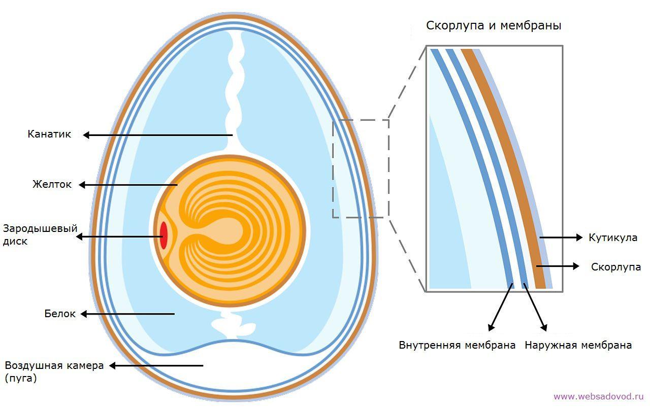 Элементы инкубационного яйца