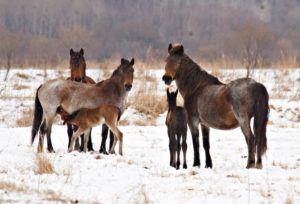 Гнедо-чалые кобылы с жеребятами