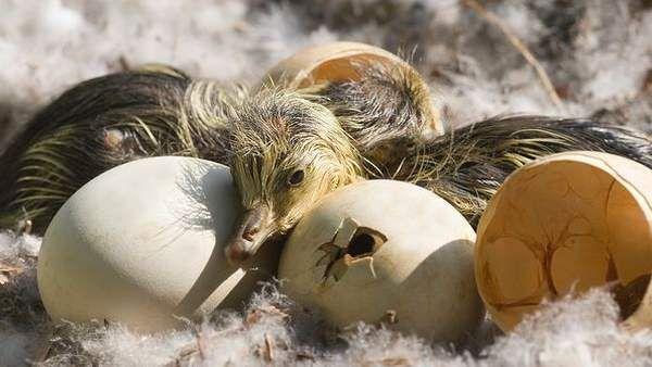 Птенцов не забирают до их полного высыхания