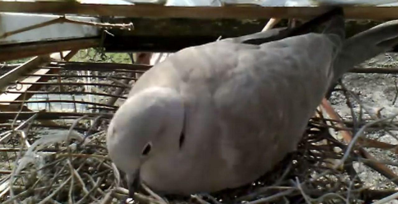 Птицы сами дополнят гнездо на свой вкус