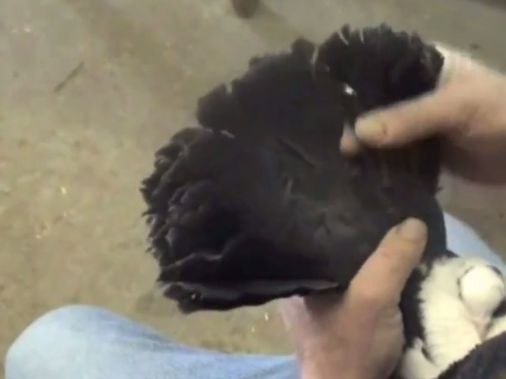 Перед сезоном спаривания хвост подрезают на 5 сантиметров с каждой стороны
