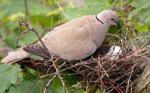 Горлицы являются хорошими родителями, но определить пол птицы очень сложно