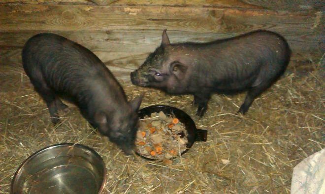 Корейские свиньи неприхотливы в еде