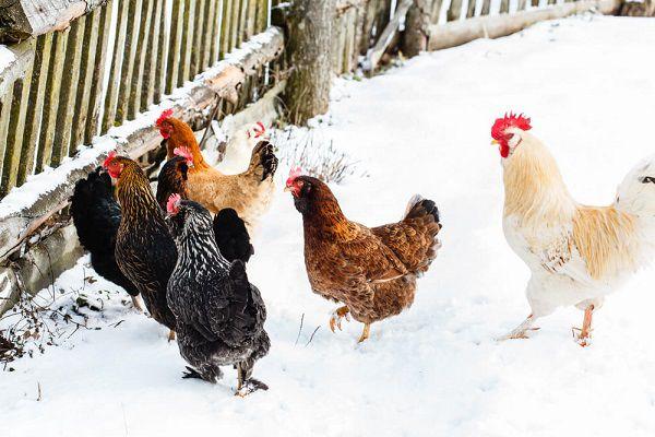 Зимой порции корма курицам надо увеличить, чтобы они получали достаточно энергии