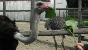 Как правильно подобрать схему питания для страусов?