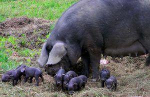 Свиноматка довольно плодовита — за 1 опорос дает до 12 поросят