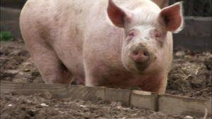 Для получения потомства в свинарнике должен быть самец-производитель