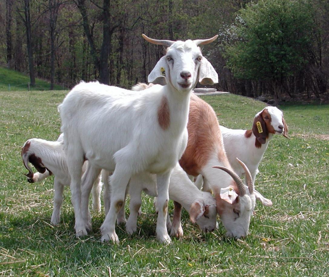 Помесные козы с козлятами на выпасе