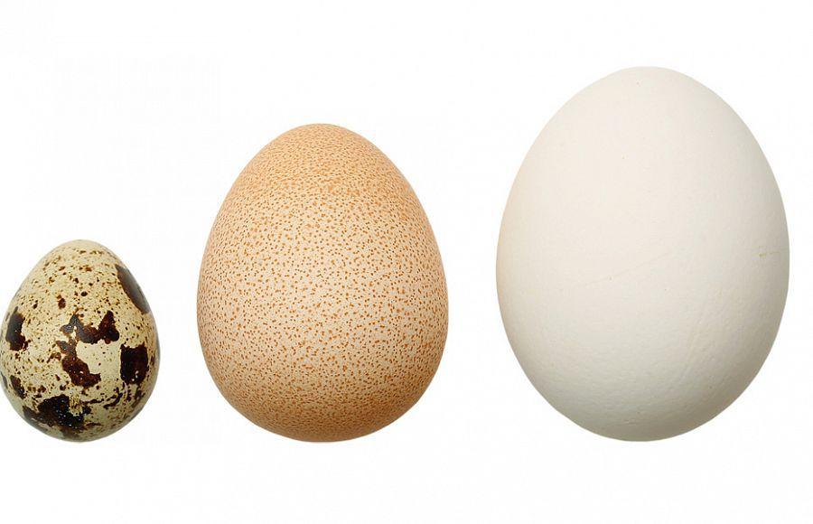 Сравнение перепелиного, цесариного и куриного яиц