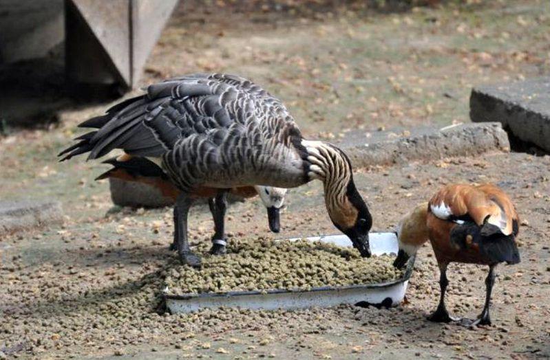 Взрослая утка ест меньше и быстрее своих гнездующихся сестёр