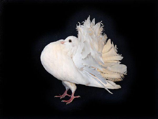 Демонстрируя свой пушистый хвост, голуби павлины ходят как будто на цыпочках