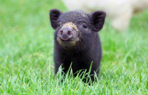 Основу питания свиней составляют сено и разнотравье