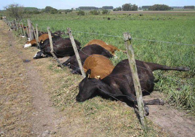 Контагиозность чумы настолько высока, что уничтожает почти все стадо