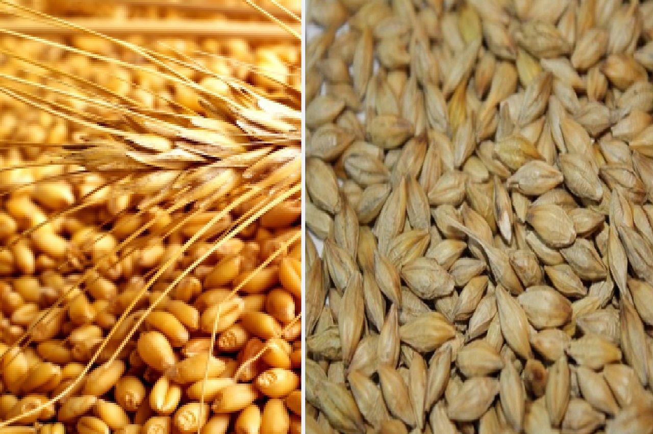 Зимний рацион голубей состоит на 60% из пшеницы и на 40% из ячменя