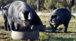 Молодняк породы крупная черная, скрещенный с крупной белой свиньей, выходит более крепким и здоровым