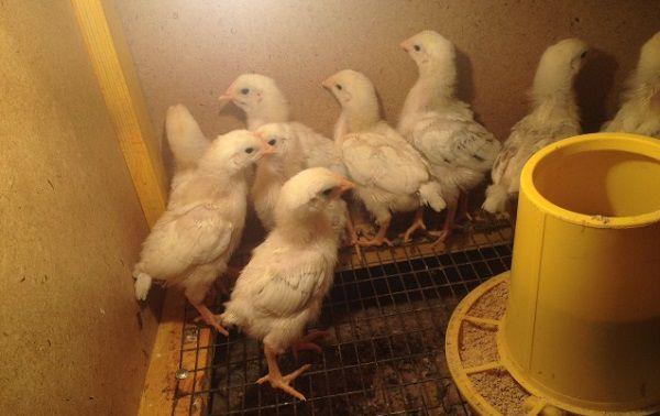 Цыплята Адлерской серебристой